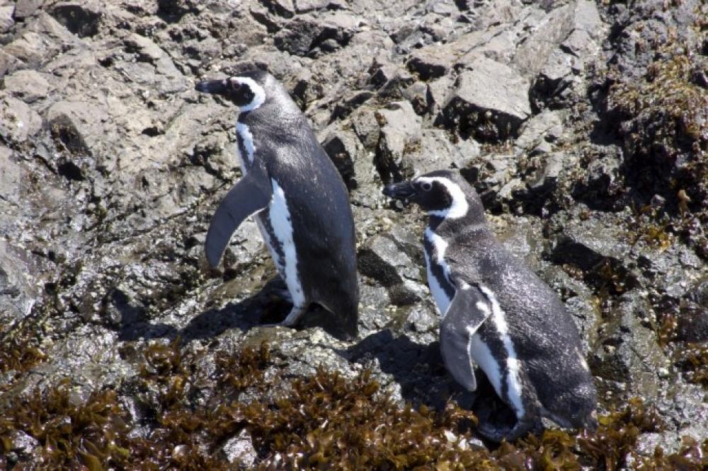 Chili - Balade en bateau à la rencontre des pingouins d'Humboldt et de Magellan sur l'île de Chiloé