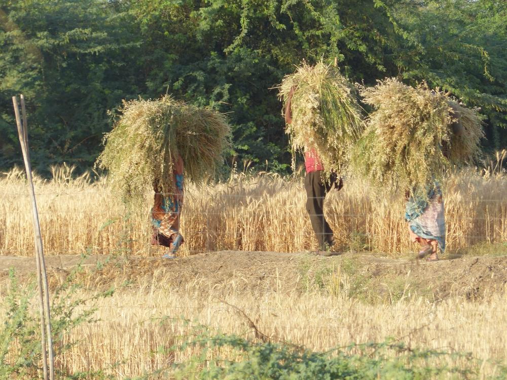 Inde - Expérience rurale au Rajasthan à Raola Khera, découvrez la campagne Indienne