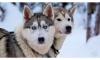 Husky Safari - Fantastic Adventure in the Lapland from Rovaniemi