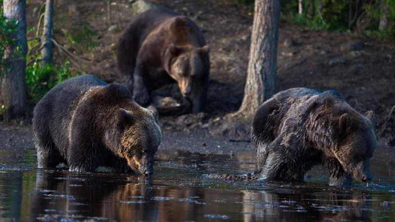 Rovaniemi Tour: Bear Watching & Oulanga National Park Experience