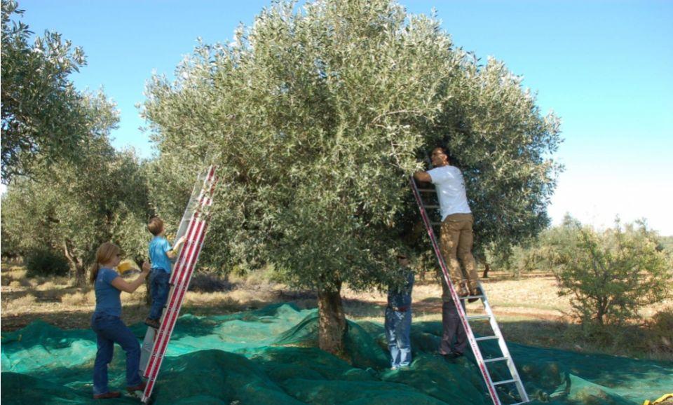 Greek Olive Oil: Olive Oil Testing Experience at Eumelia Organic Farm