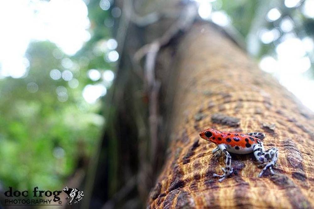 Panama - Poison Frog Experience: Bocas Del Toro archipelago