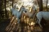 France - Wild horses of Camargue