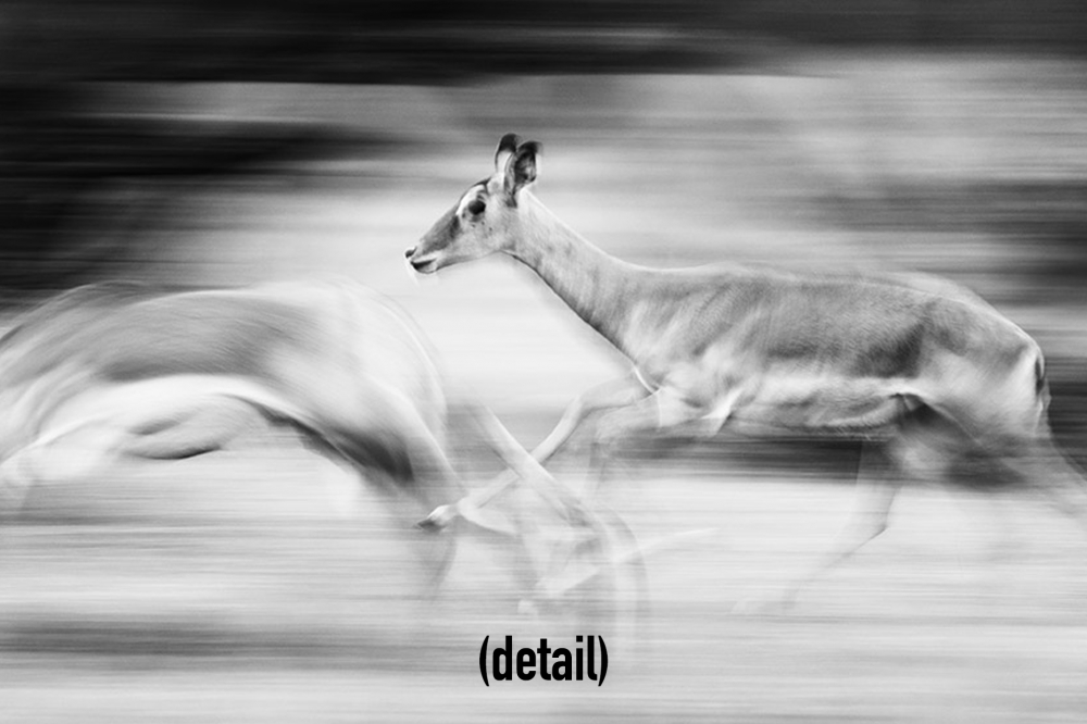 Impalas in the Maasai Mara