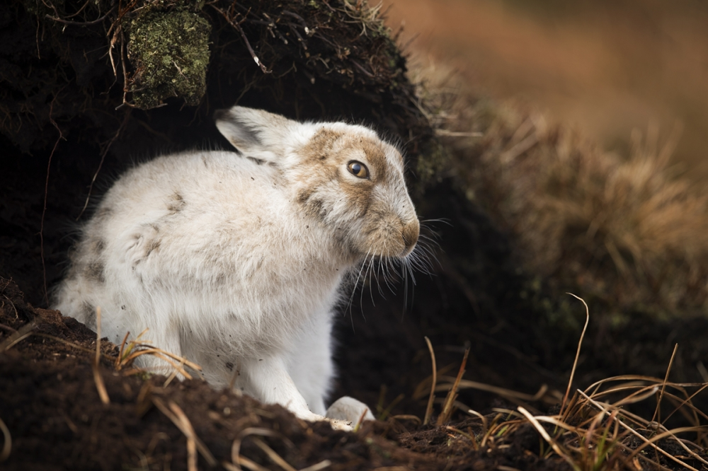 UK - Mountain Hare Photography Workshop