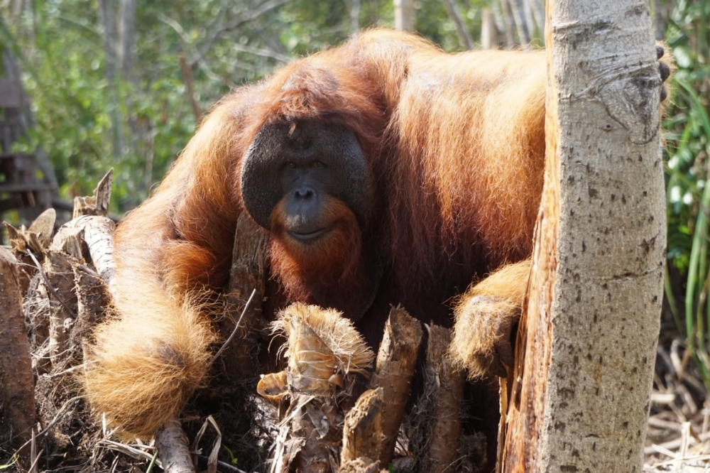 Borneo - Orangutang Remote Photo Tour