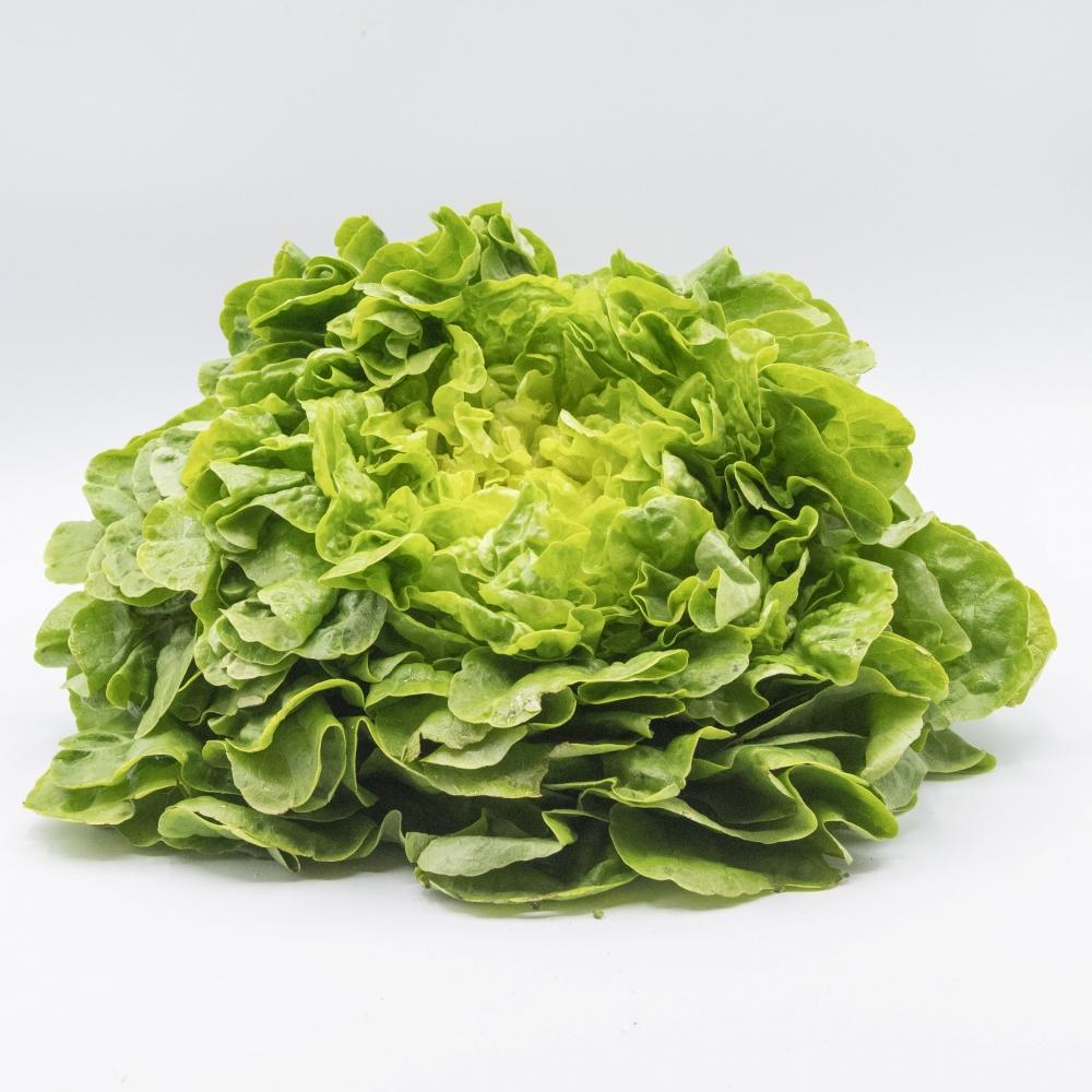 Salade feuille de chêne verte production locale