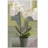 Orchidée Phalanéopsis blanche 2 branches