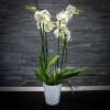 Orchidée phalanéopsis blanche 2 branches+ Rochers Pralinés