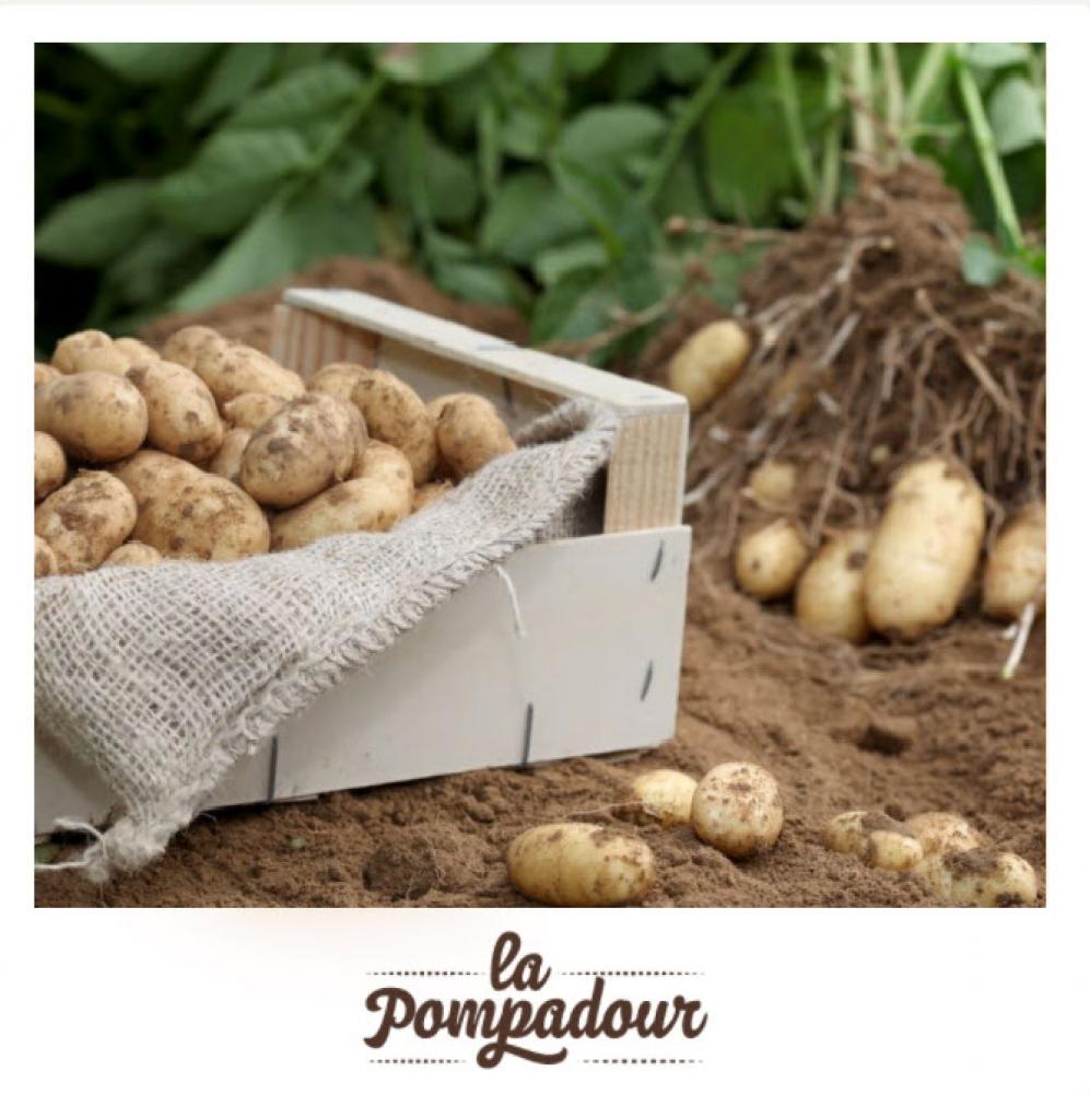 """Filet de 20 plants de pommes de terre \""""Pompadour\"""" à cultiver chez soi"""