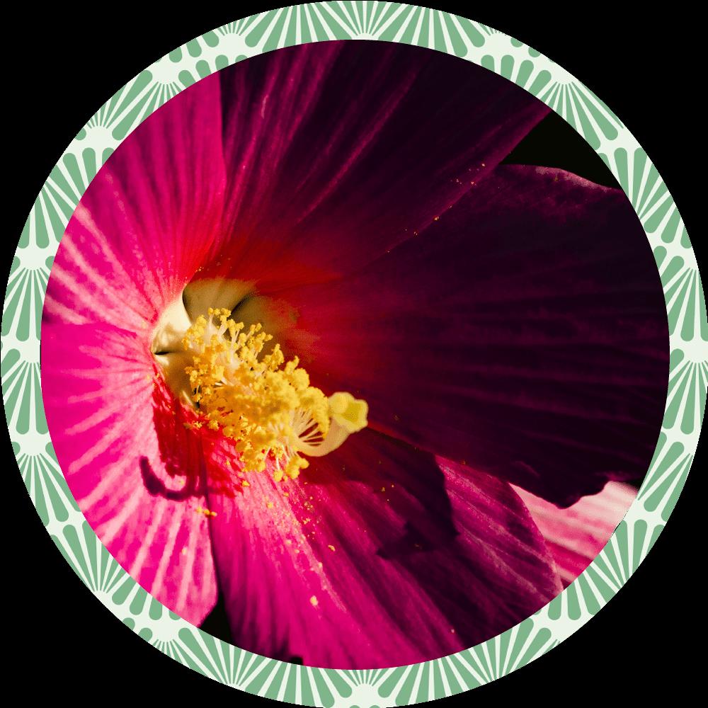 Box de jardinage : ' Hibiscus des Marais ' Duo