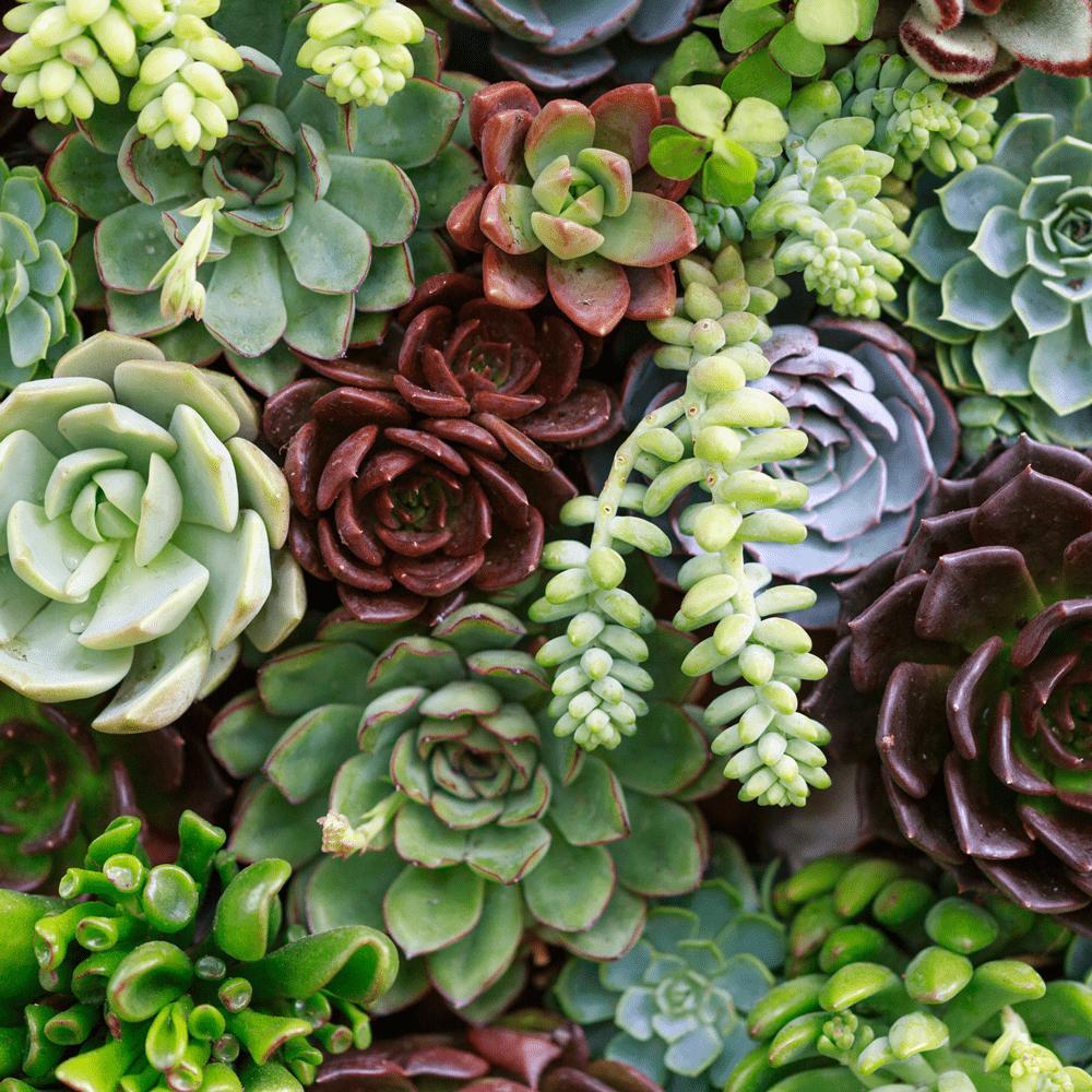Box de jardinage : ' Sedum Zen ' Duo