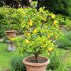 Box de jardinage : ' Citronnier 4 Saisons '