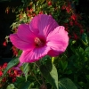 Box de jardinage : ' Hibiscus des Marais '