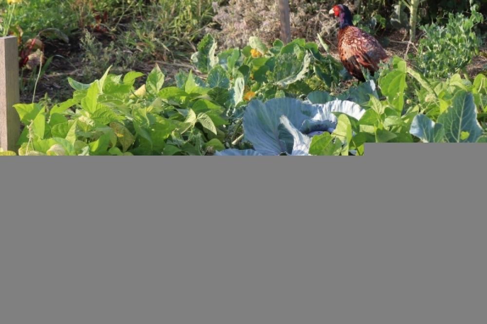 Mischkultur Kopfkohl und Buschbohnen