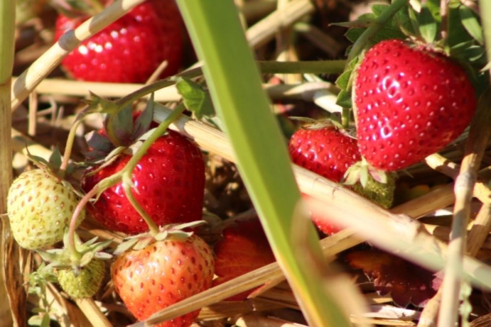 Mischkultur Erdbeeren und Knoblauch