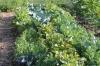 Mischkultur Blütenkohl, Erbsen und Rote Bete
