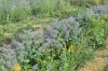 Mischkultur bunt und essbar - Insektenweide
