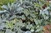 Mischkultur Winterkohl, Sellerie und Salat