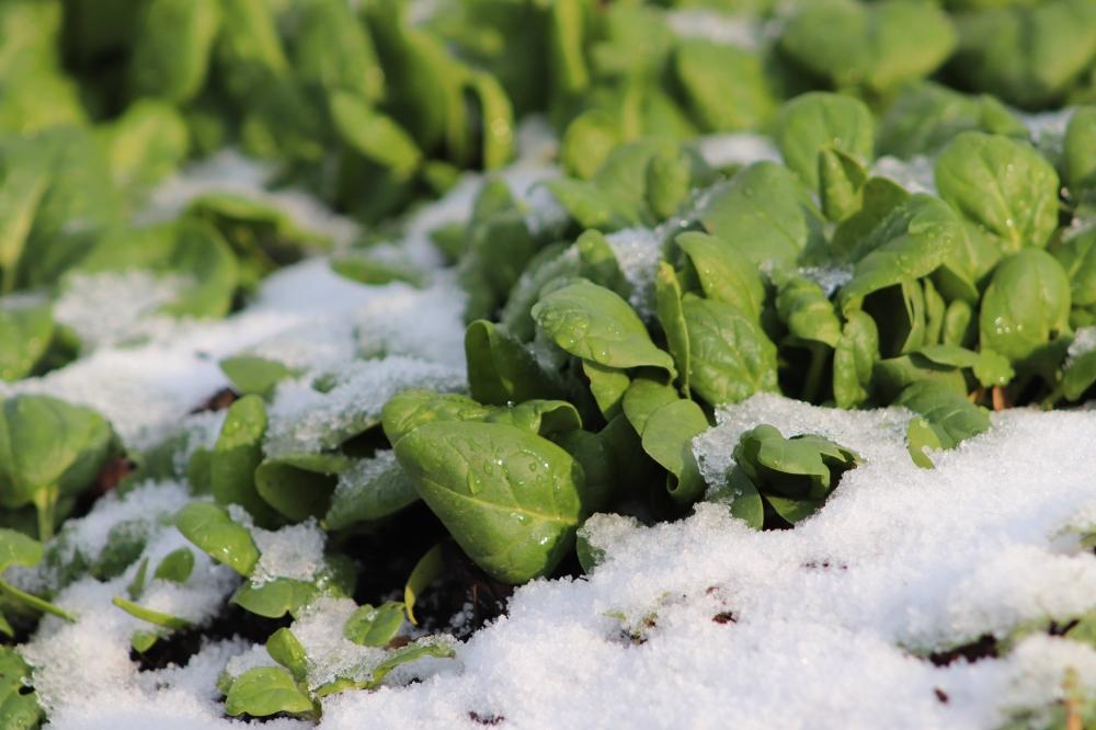 Vor- und Nachkultur Spinat