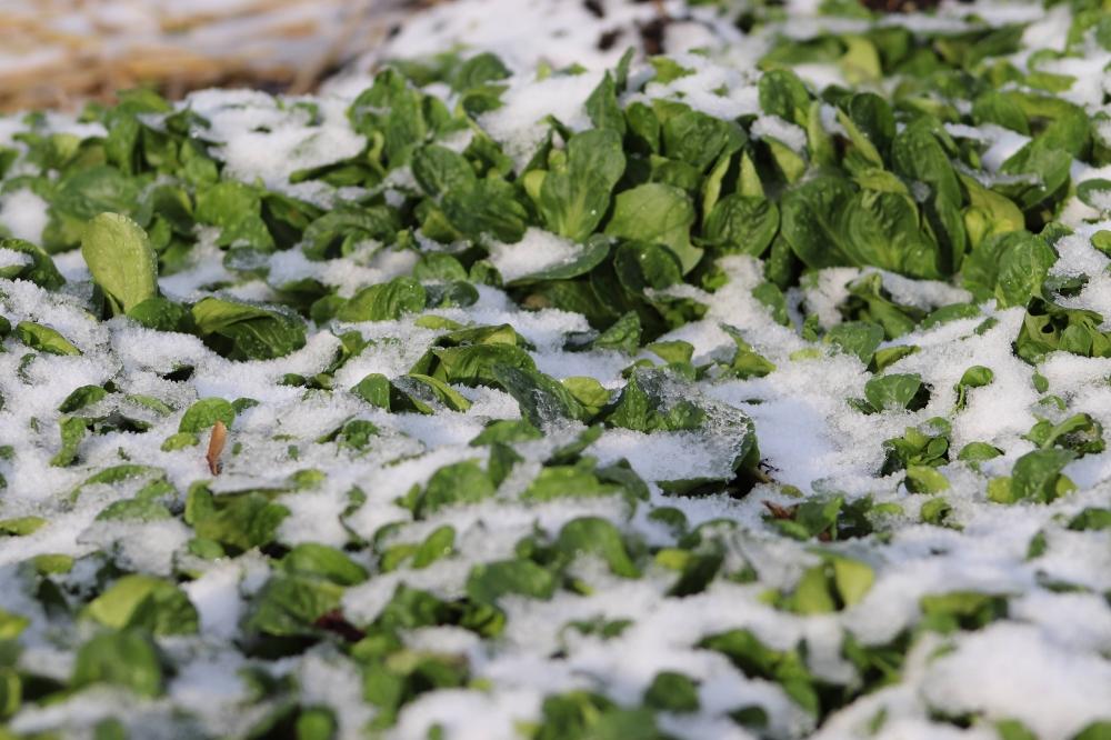 Nachkultur Feldsalat