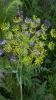 Blühfläche Benignus