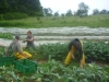 Gemüseanteil bei der SoLawi Freudenthal!